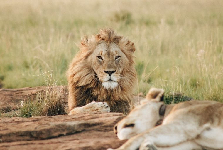 endangered lions in the wild
