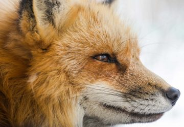 Beautiful red fox - fox hunting - foxes need your help