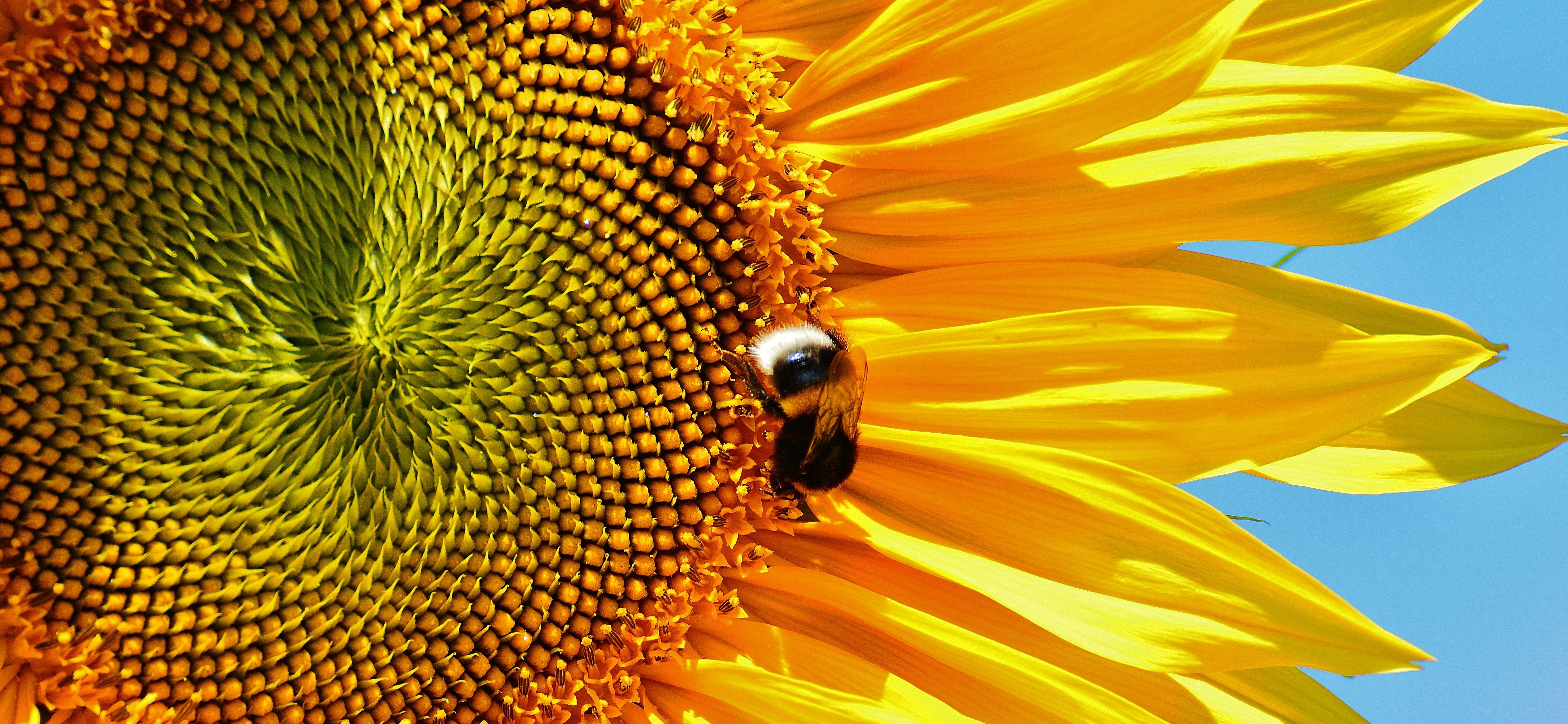 Sunflowers are bee-friendly flowers