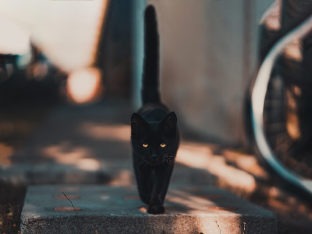 debunking superstitions about black cats