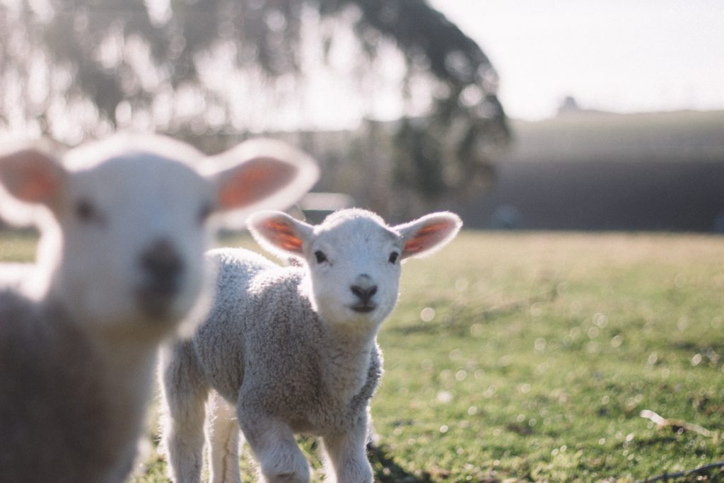 lambs are friends not food