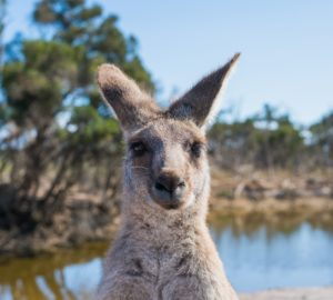 how to help the kangaroos in the Australia bush fires